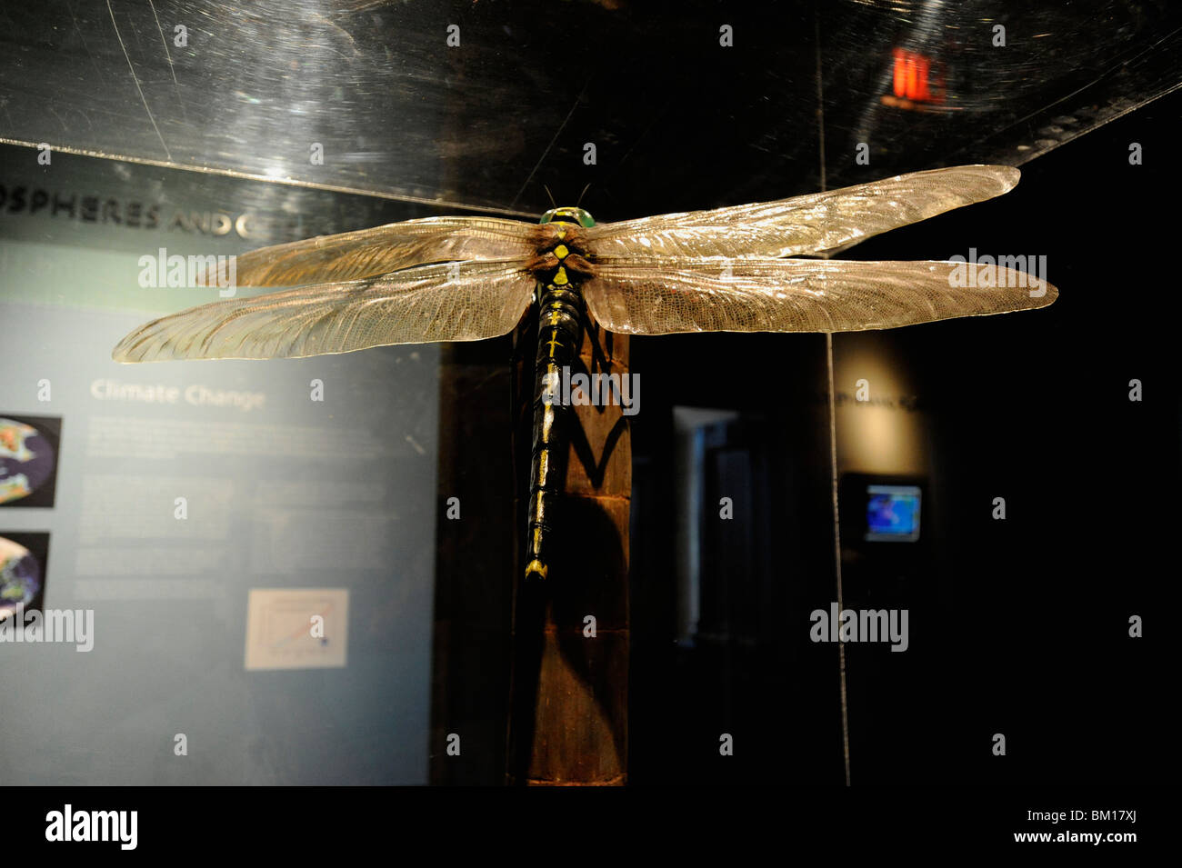 Peabody Museum, New Haven, Connecticut. Meganeuropsis giant dragonfly from Carboniferous Period. Stock Photo