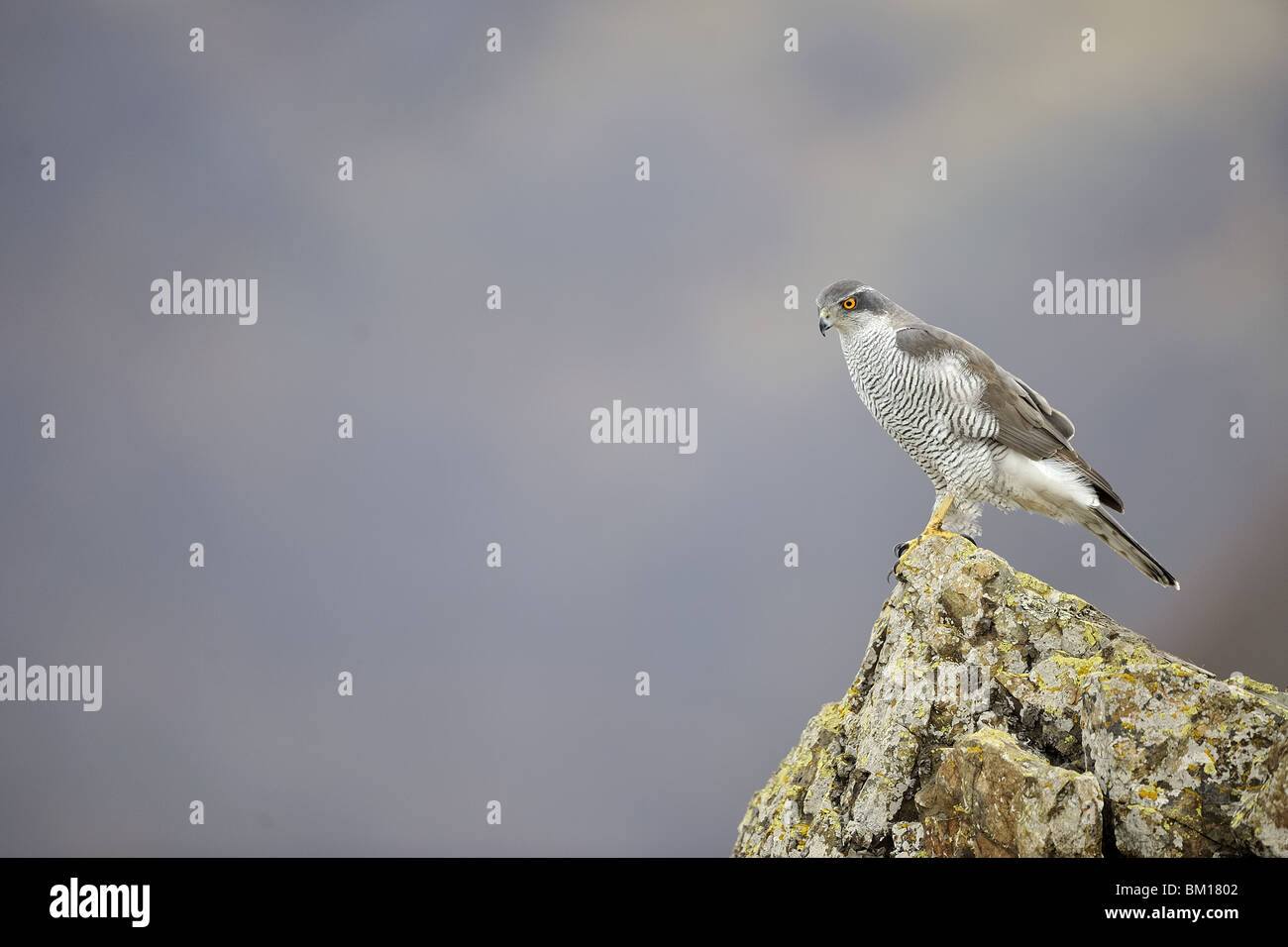 Northern Goshawk standing on a rock in winter - Stock Image