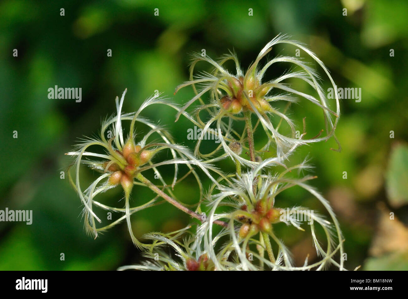 Clematis seeds - Stock Image