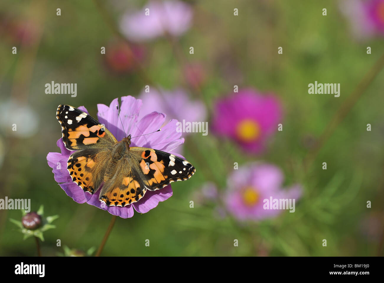 Painted Lady butterfly gathering nectar from flower of cosmos Stock Photo