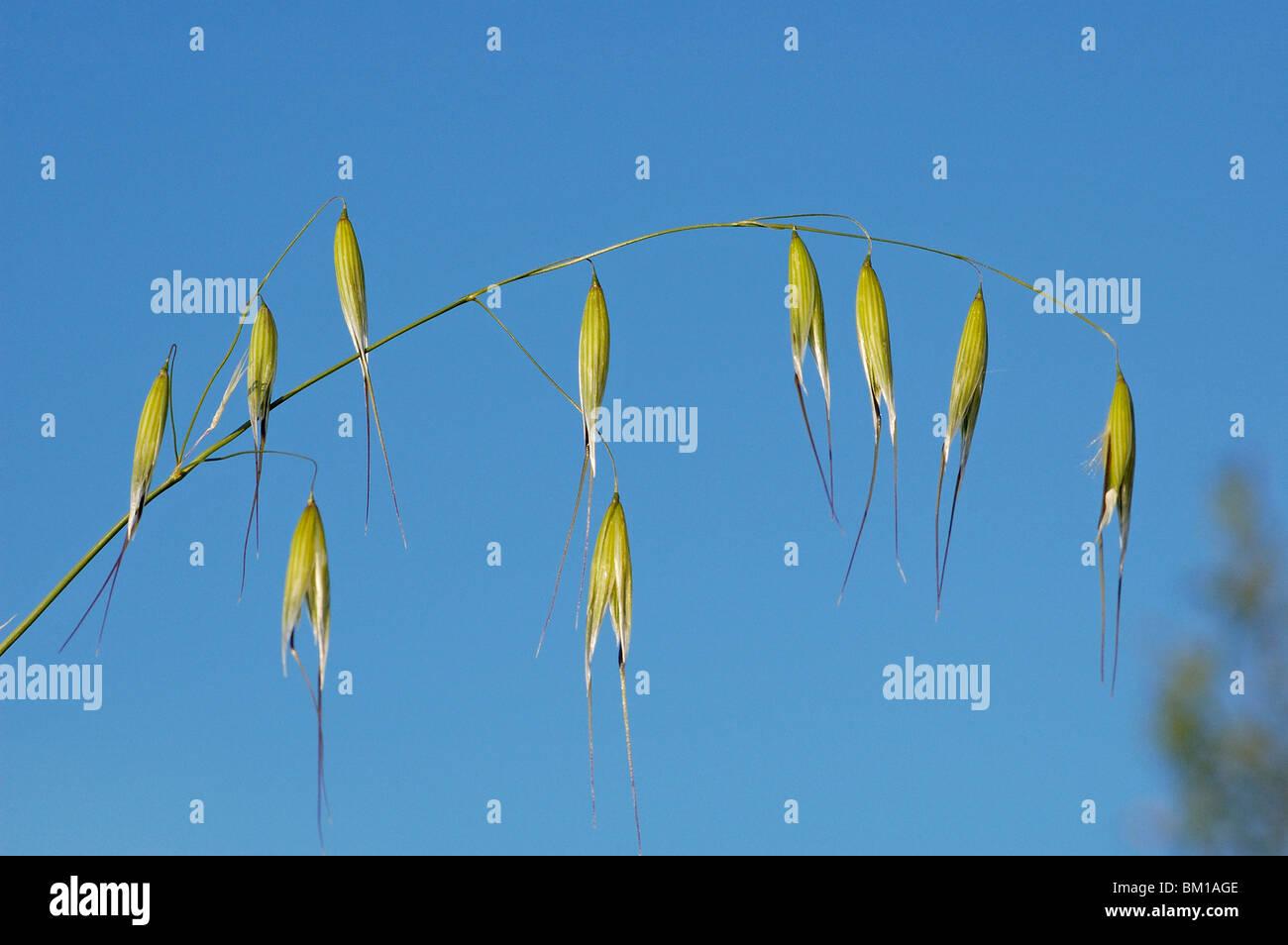 Avena sterilis, Winter wild oat Stock Photo