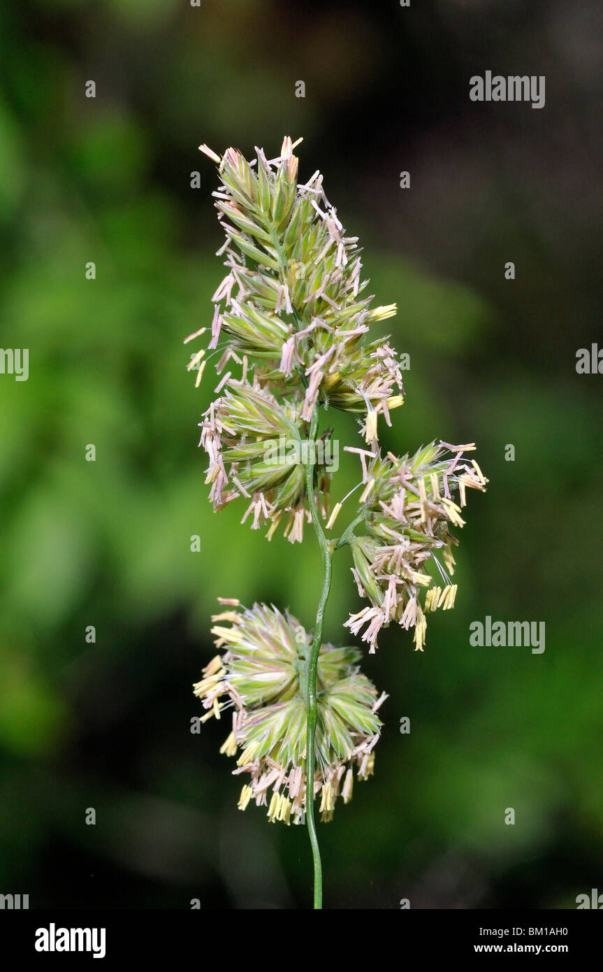 Dactylis glomerata Stock Photo