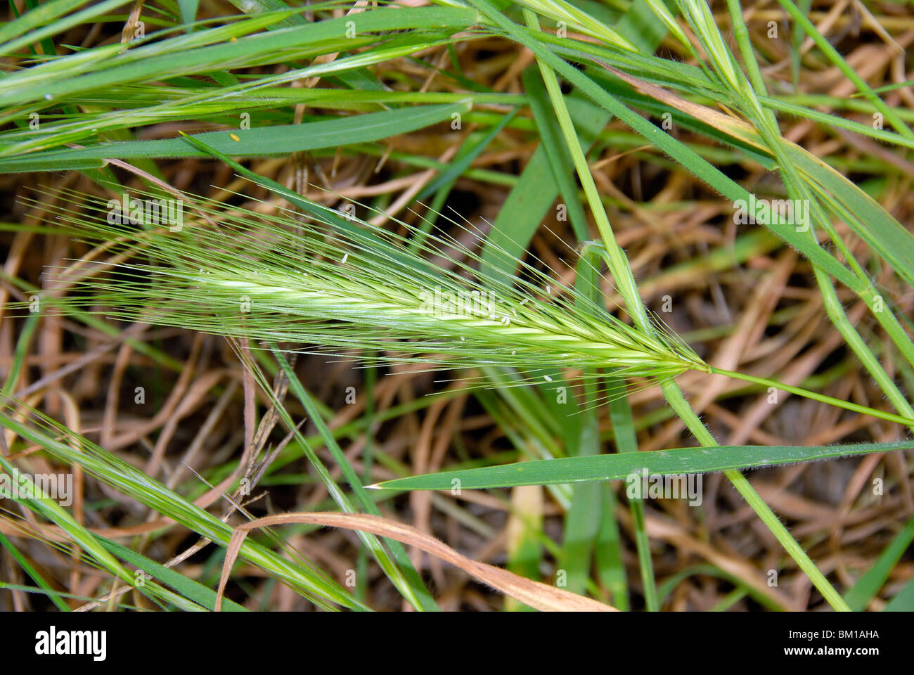 Hordeum murinum, False barley Stock Photo