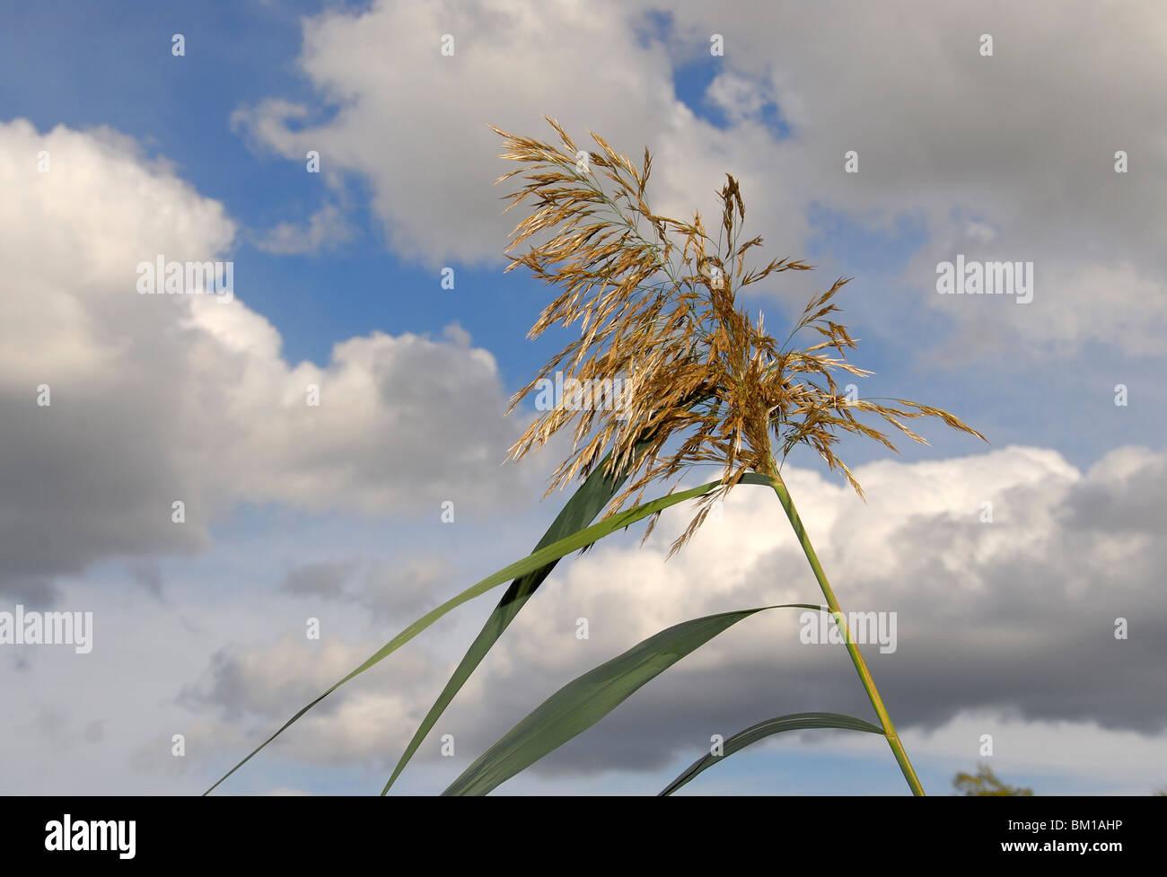 Phragmites australis, common reed Stock Photo