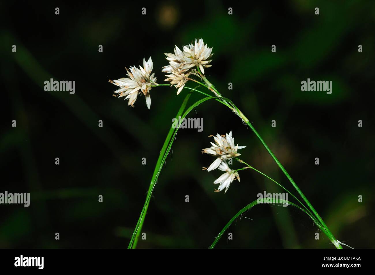 Luzula nivea, Snowy Wood-rush - Stock Image
