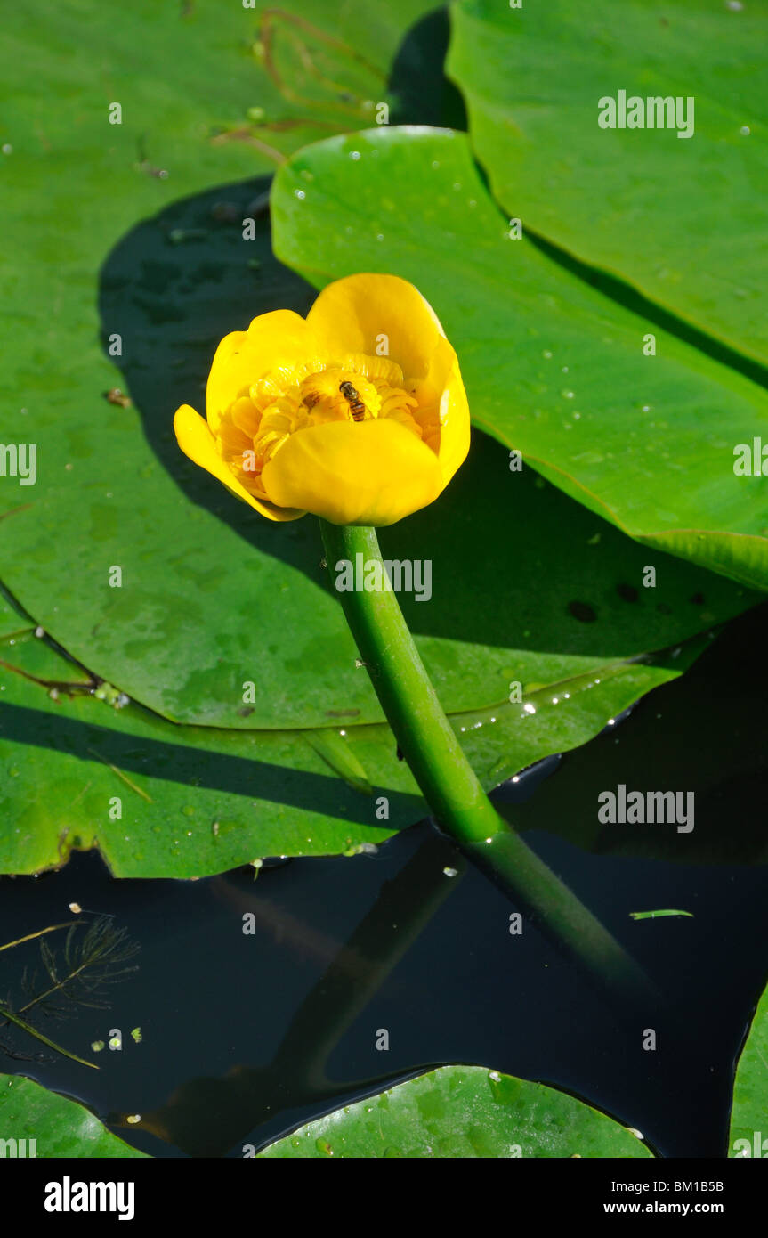 Nuphar lutea spatterdock yellow water lily cow lily or yellow nuphar lutea spatterdock yellow water lily cow lily or yellow pond lily izmirmasajfo