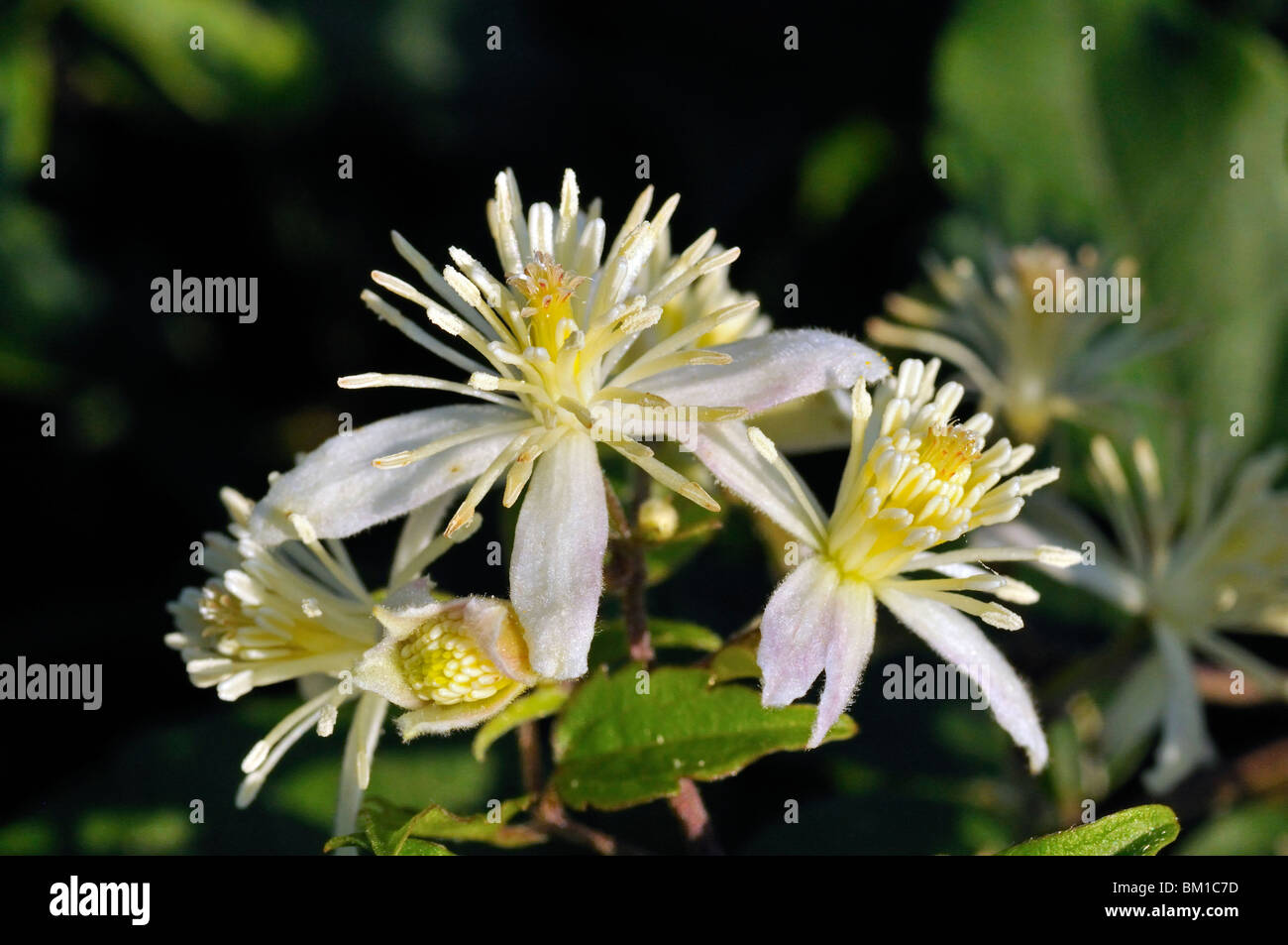 Clematis vitalba, Old man's beard or Traveller's Joy - Stock Image