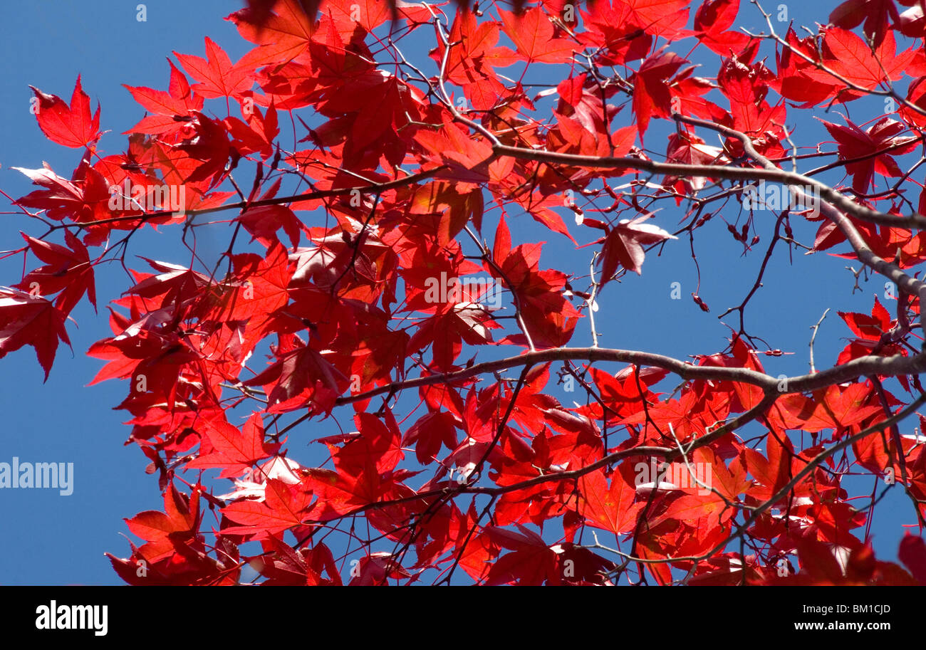 Japanese maple in autumn, Akan National Park, Hokkaido, Japan Stock Photo