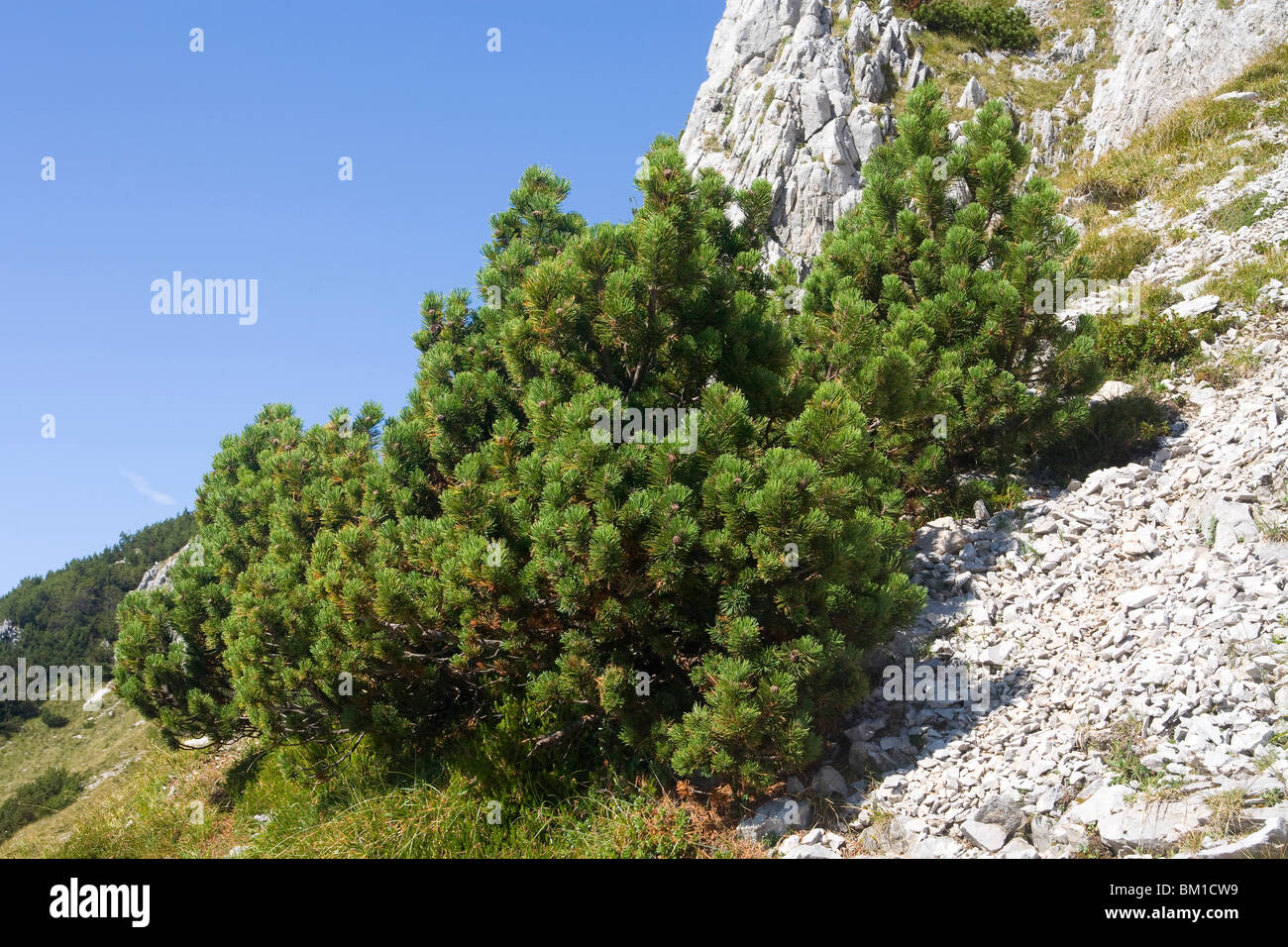 Pinus Mughus, Dwarf Mountain Pine, Pino Mugo   Stock Image