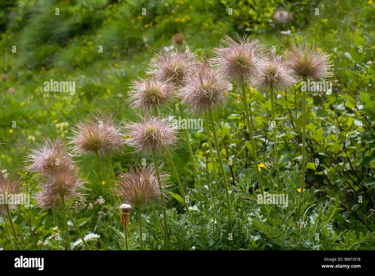 Pulsatilla alpina ssp. apiifolia, alpine pasqueflower, seeds Stock ...
