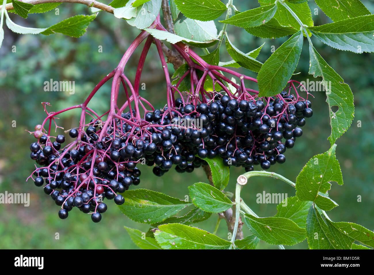 Sambucus nigra, black elder, berries, sambuco nero - Stock Image