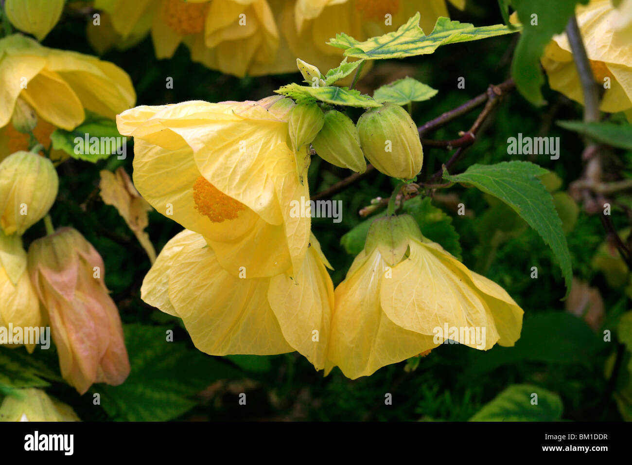 Abutilon 'Canary Bird', flowering maple - Stock Image