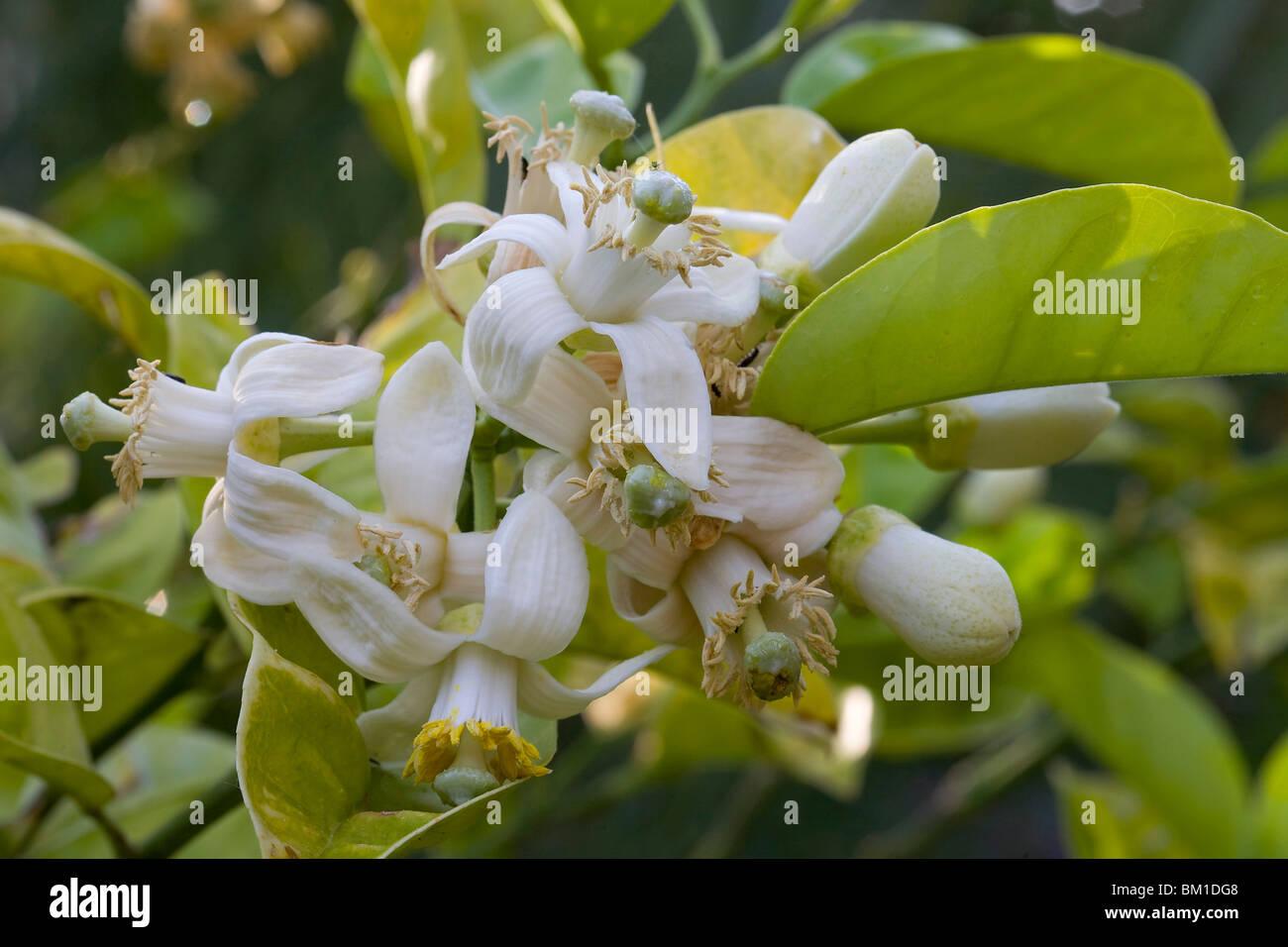 Fiori Zagare.Orange Flowers Fiori Di Arancio Zagare Stock Photo 29536088 Alamy