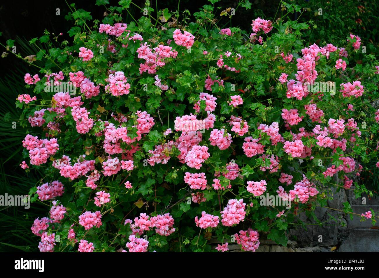 Pelargonium 'Lachs Konigin', ivy pelargonium, geranio edera - Stock Image