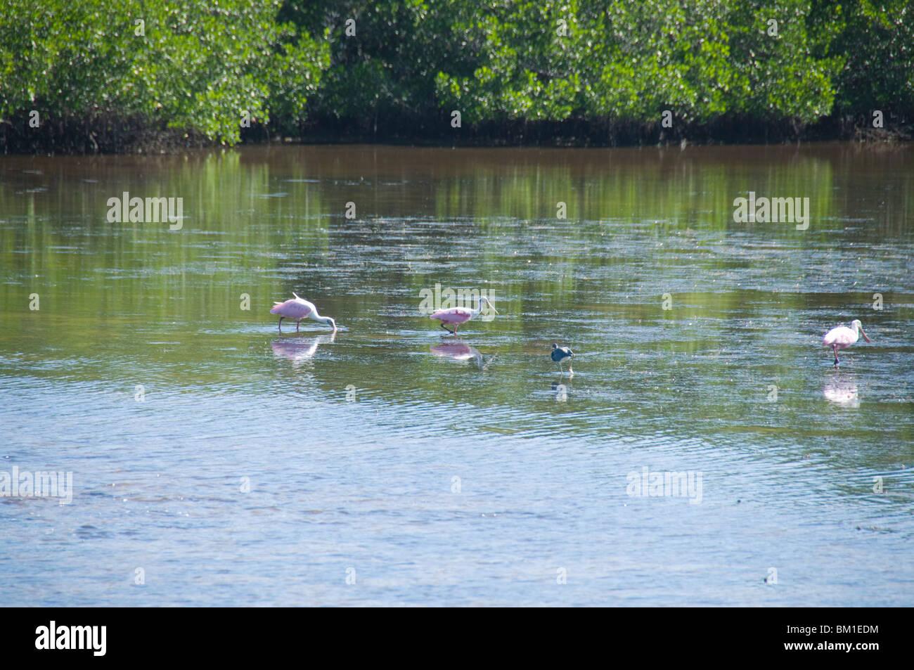 Roseate spoonbills, J.N. 'Ding' Darling Wildlife Reserve, Sanibel Island, Gulf Coast, Florida, United States - Stock Image