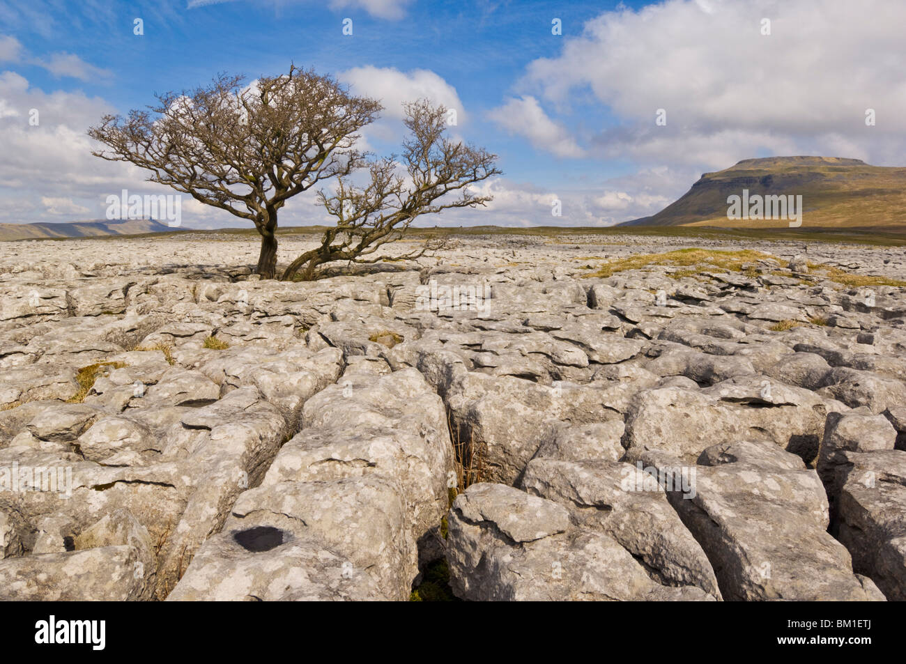 Tree growing through the limestone of White Scars, Ingleton, Yorkshire Dales National Park, Yorkshire, England, - Stock Image