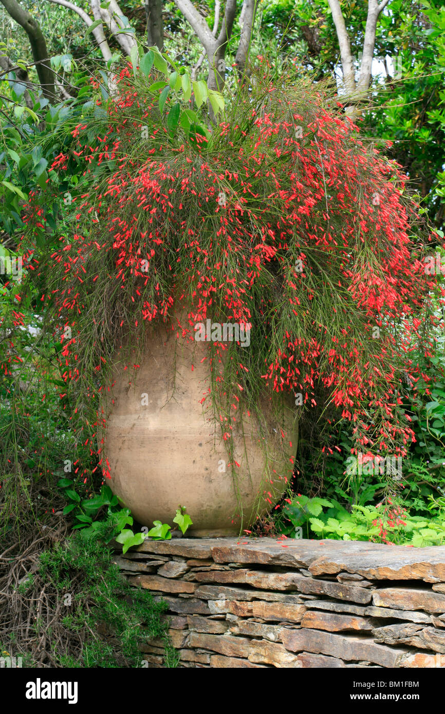 russelia equisetiformis coral plant in pot stock photo 29537528 alamy. Black Bedroom Furniture Sets. Home Design Ideas