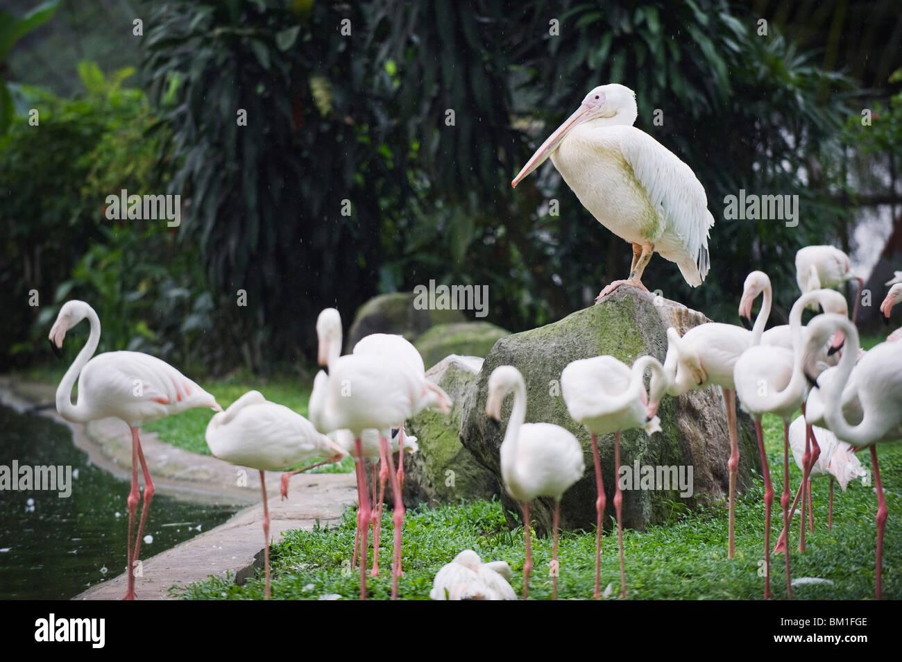 Pelican and flamingos, KL Bird Park, Kuala Lumpur, Malaysia, Southeast Asia, Asia - Stock Image