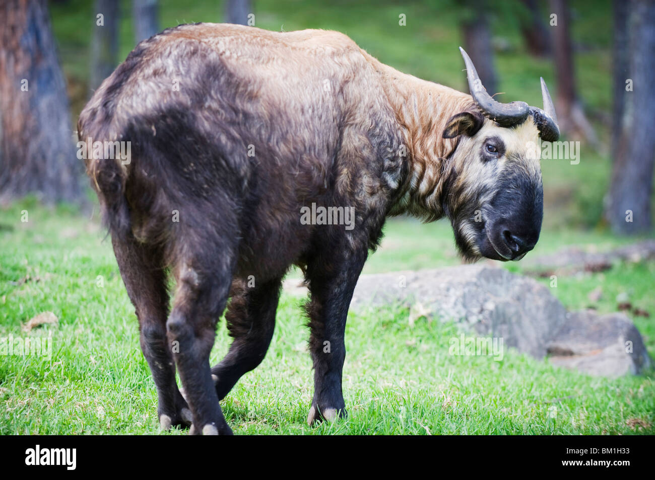 Takin, national animal of Bhutan, Motithang Takin Preserve, Thimphu, Bhutan, Asia - Stock Image