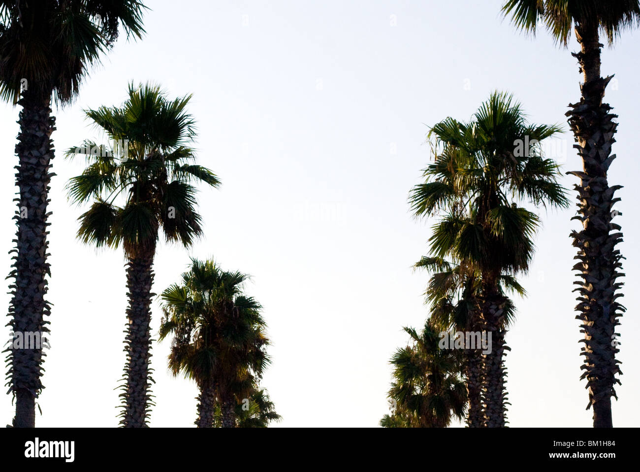 Palm trees in barclona right by the sea/ beach - Stock Image