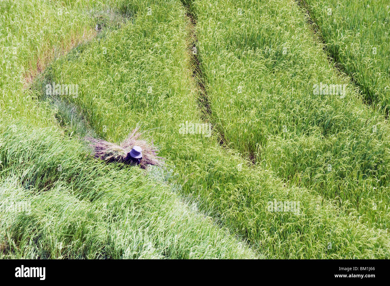 Woman working in a rice field, Punakha, Bhutan, Asia - Stock Image