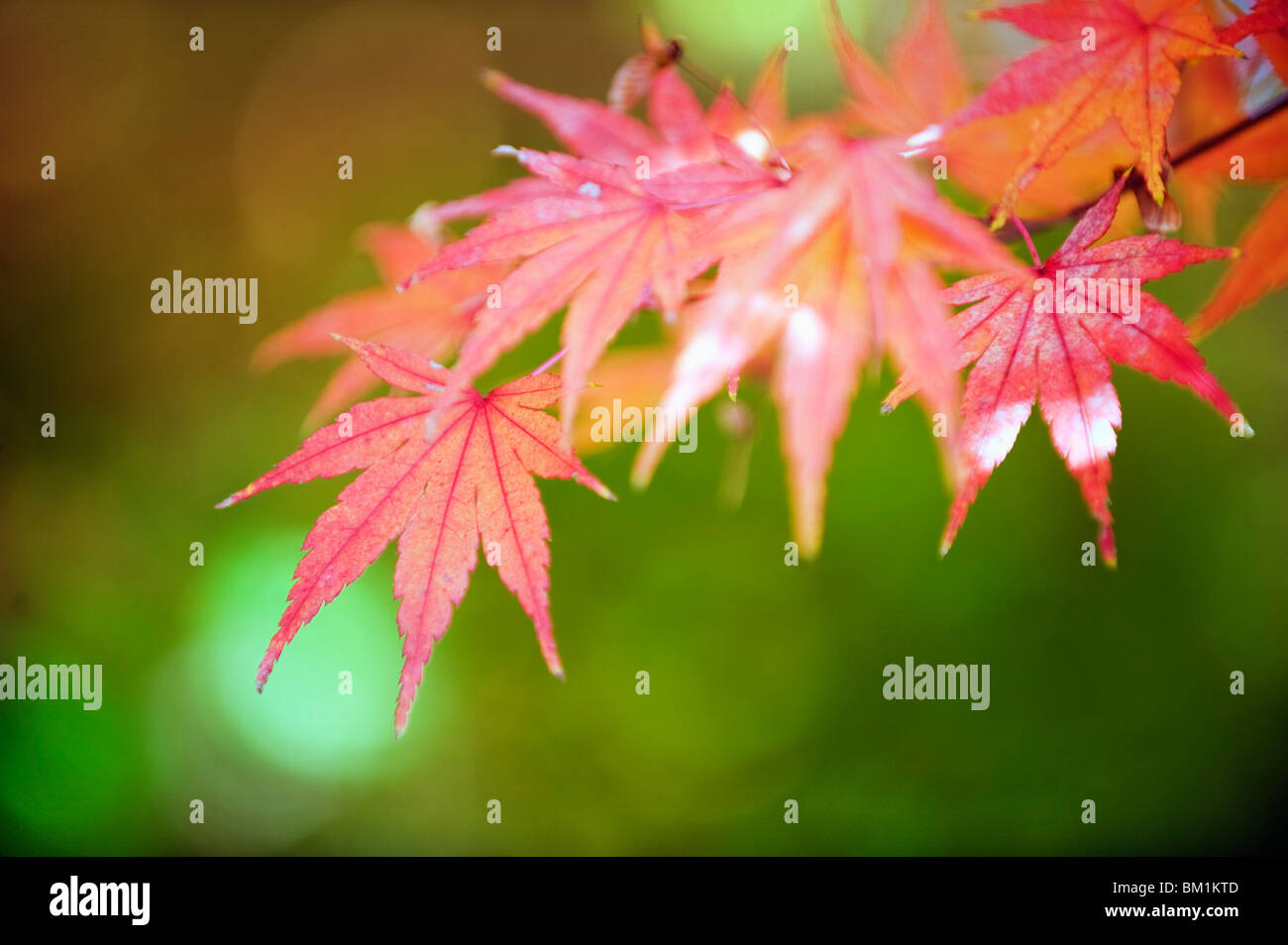 Autumn maple leaves, Sagano area, Kyoto, Japan, Asia - Stock Image