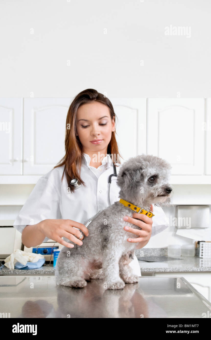 Female vet cutting a dog's hair - Stock Image