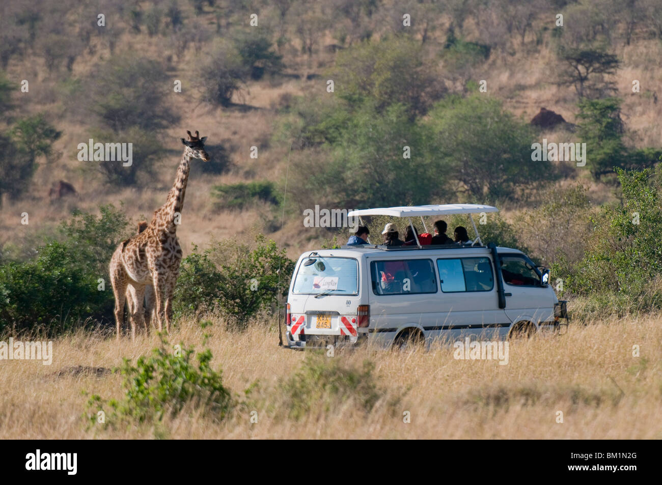 Tourists on safari watching giraffes, Masai Mara National Reserve, Kenya, East Africa, Africa - Stock Image