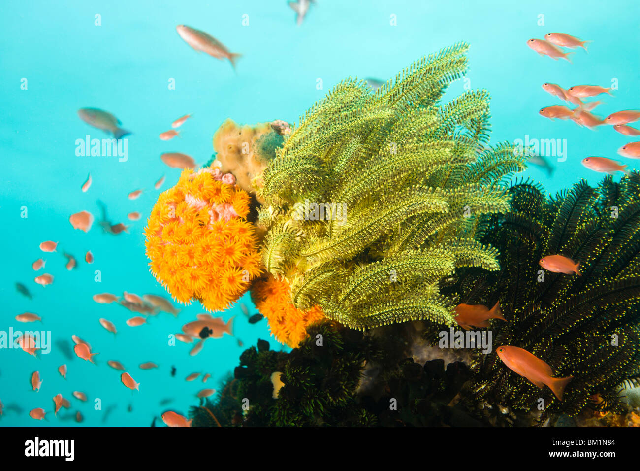 Anthias fish Pseudanthias squamipinnis Underwater Sea Life at Verde Island near Puerto Gallera  Philippines  SE Stock Photo