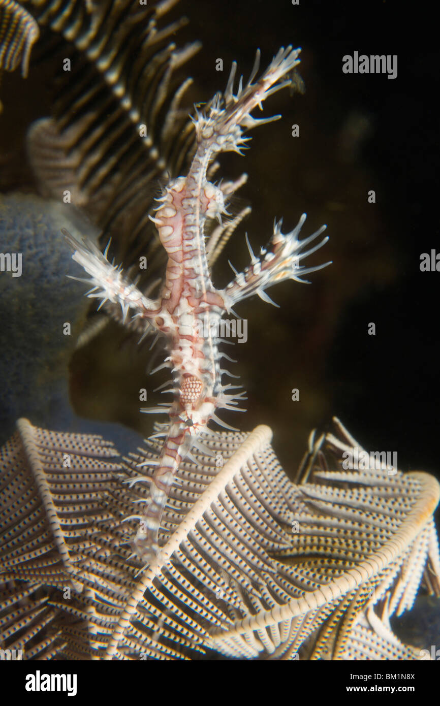 Ornate Ghost Pipefish Solenastomus paradoxus  Dumaguete  capital of Negro Oriental Island  Philippines  SE Asia - Stock Image