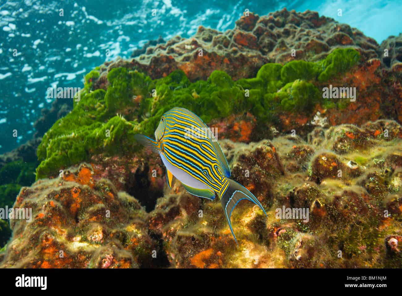 Lined Surgeonfish Acanthurus lineatus  Richelieu Rock  Surin National Marine Park  South of Phuket  Thailand  SE - Stock Image