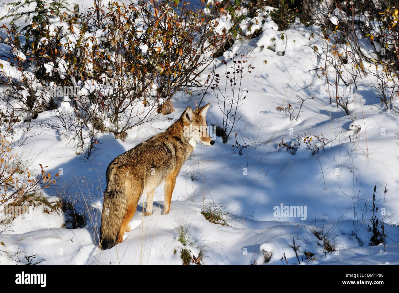 Coyote walking through snow, Kananaskis Country, Alberta, Canada, North America - Stock Image