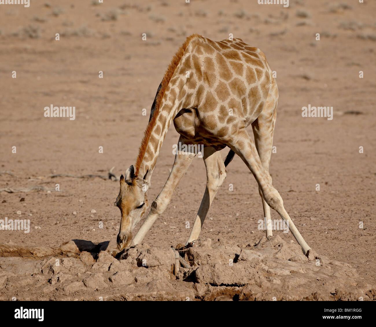Cape giraffe (Giraffa camelopardalis giraffa) drinking, Kgalagadi Transfrontier Park, South Africa - Stock Image