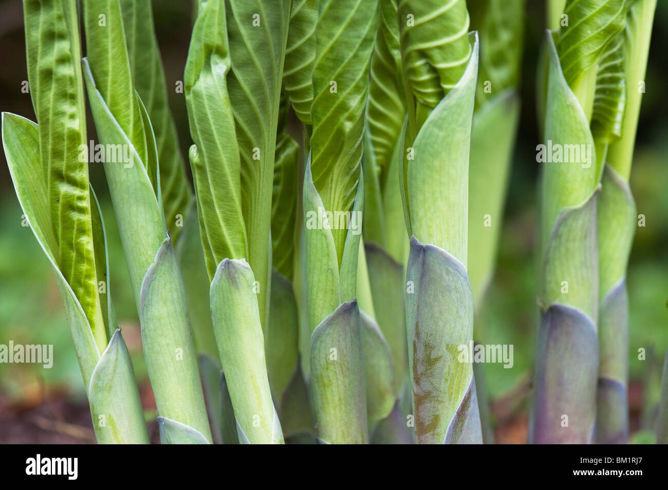 Hosta 'Snowdon' plant leaf shoots emerging in spring. UK - Stock Image