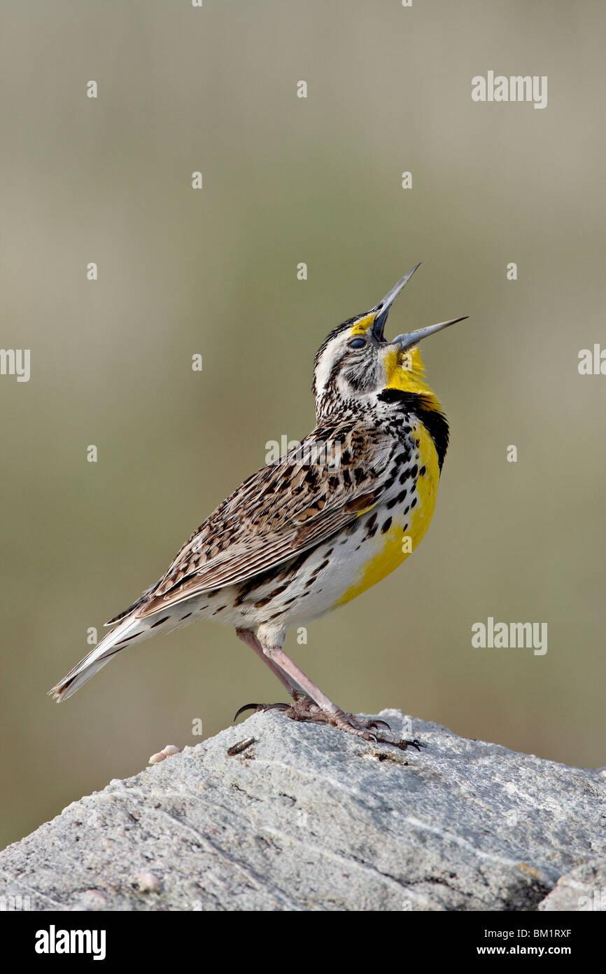 Western meadowlark (Sturnella neglecta) calling, Antelope Island State Park, Utah, United States of America, North Stock Photo