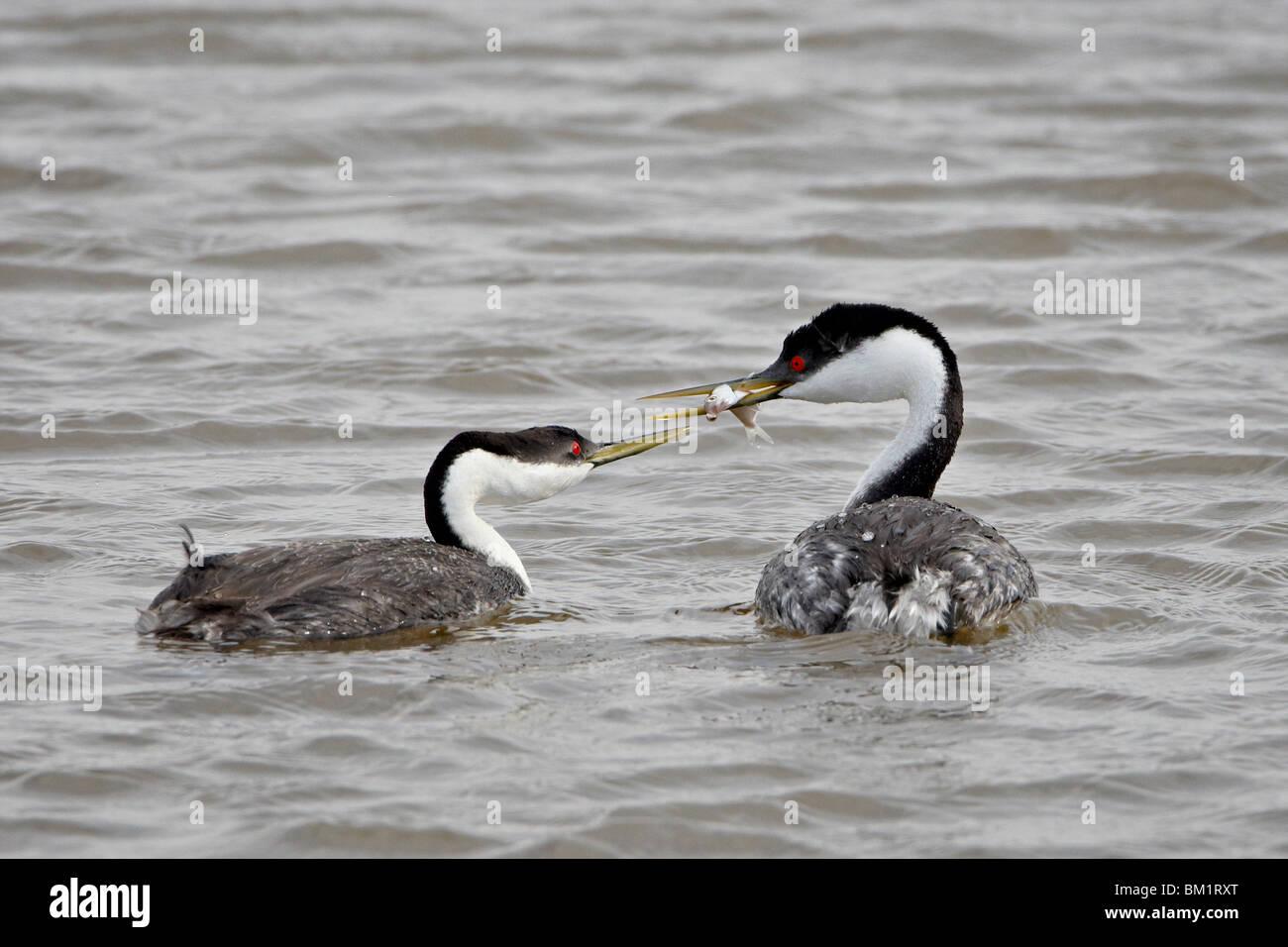 Western grebe (Aechmophorus occidentalis) courtship, Bear River Migratory Bird Refuge, Utah, United States of America - Stock Image