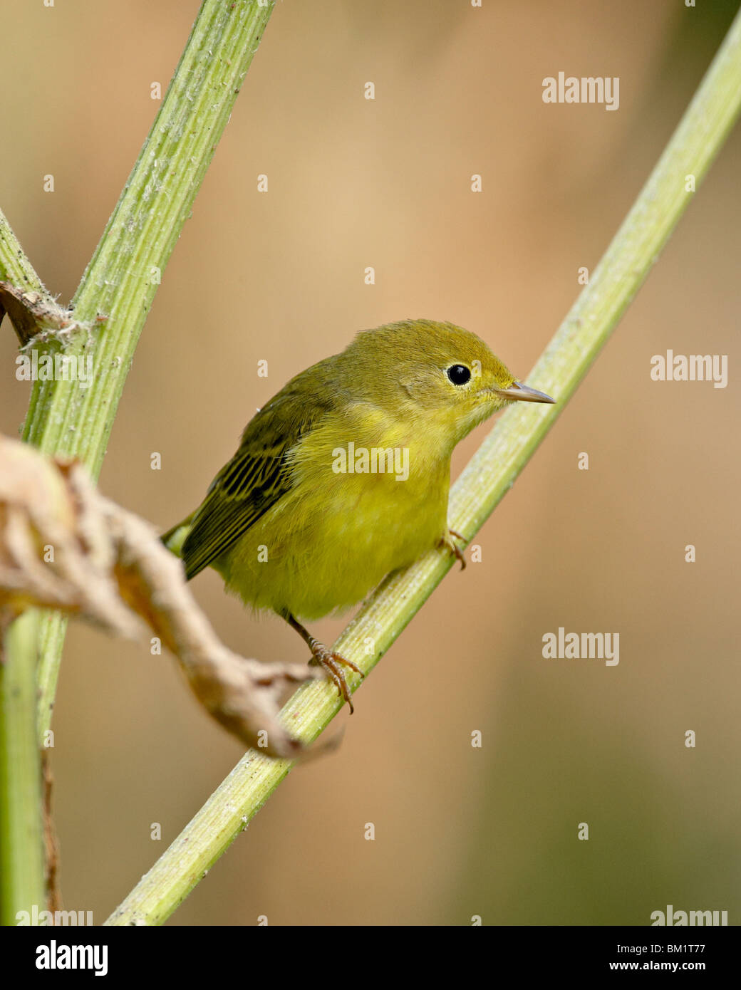Yellow warbler (Dendroica petechia), near Palmer, Alaska, United States of America, North America - Stock Image