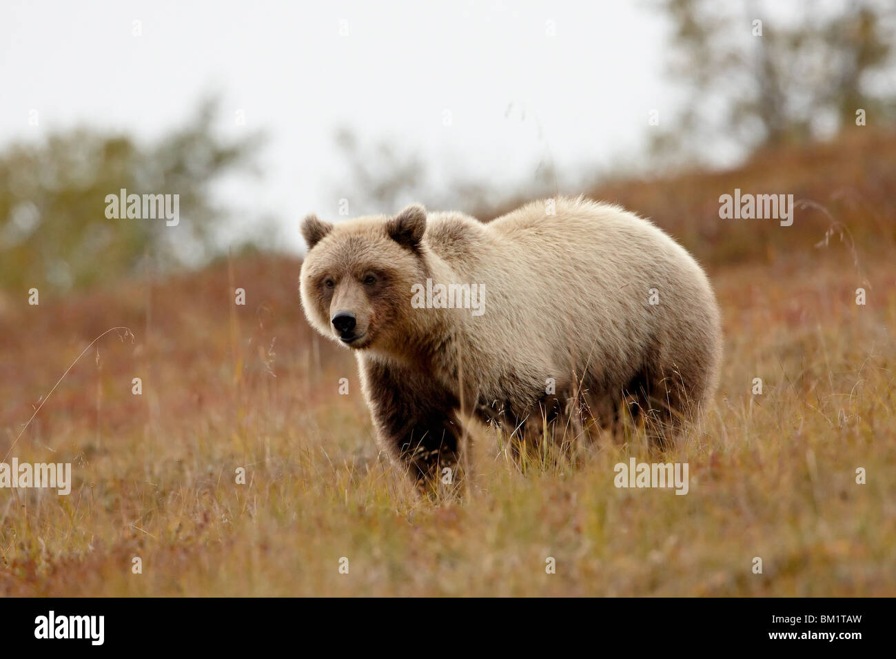 Grizzly bear (Ursus horribilis) in the fall, Denali National Park and Preserve, Alaska, United States of America, - Stock Image