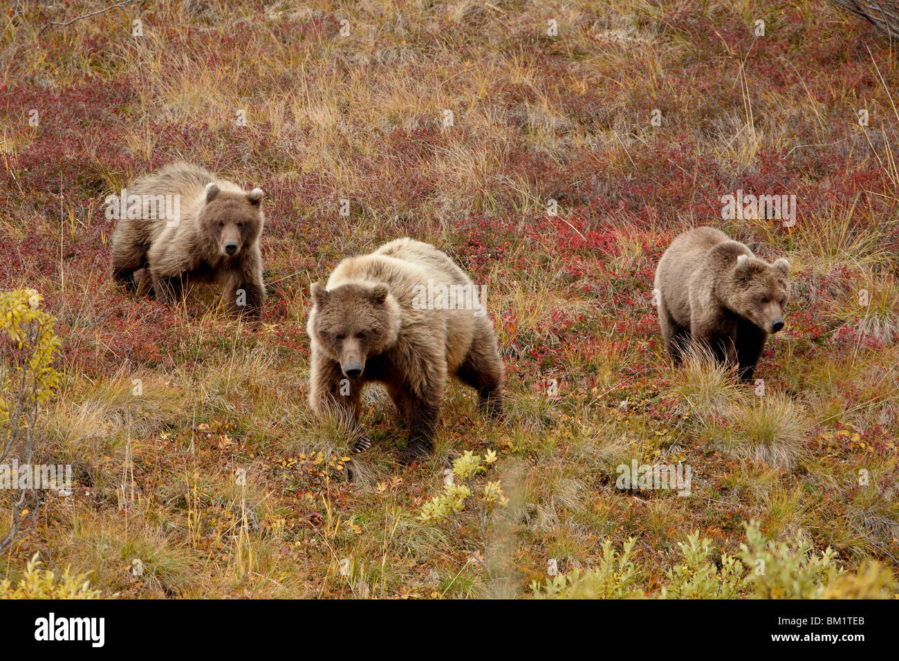 Grizzly bear (Ursus arctos horribilis) with two yearling cubs, Denali National Park, Alaska, United States of America - Stock Image