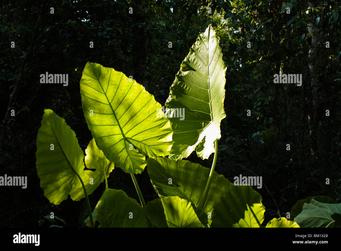 Giant leaves in a ray of sunlight along the trail to Crocodile Swamp in Cat Tien National Park. - Stock Image