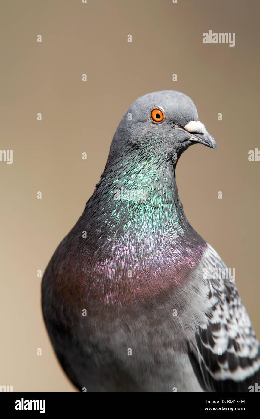 Rock Pigeon portrait - Stock Image