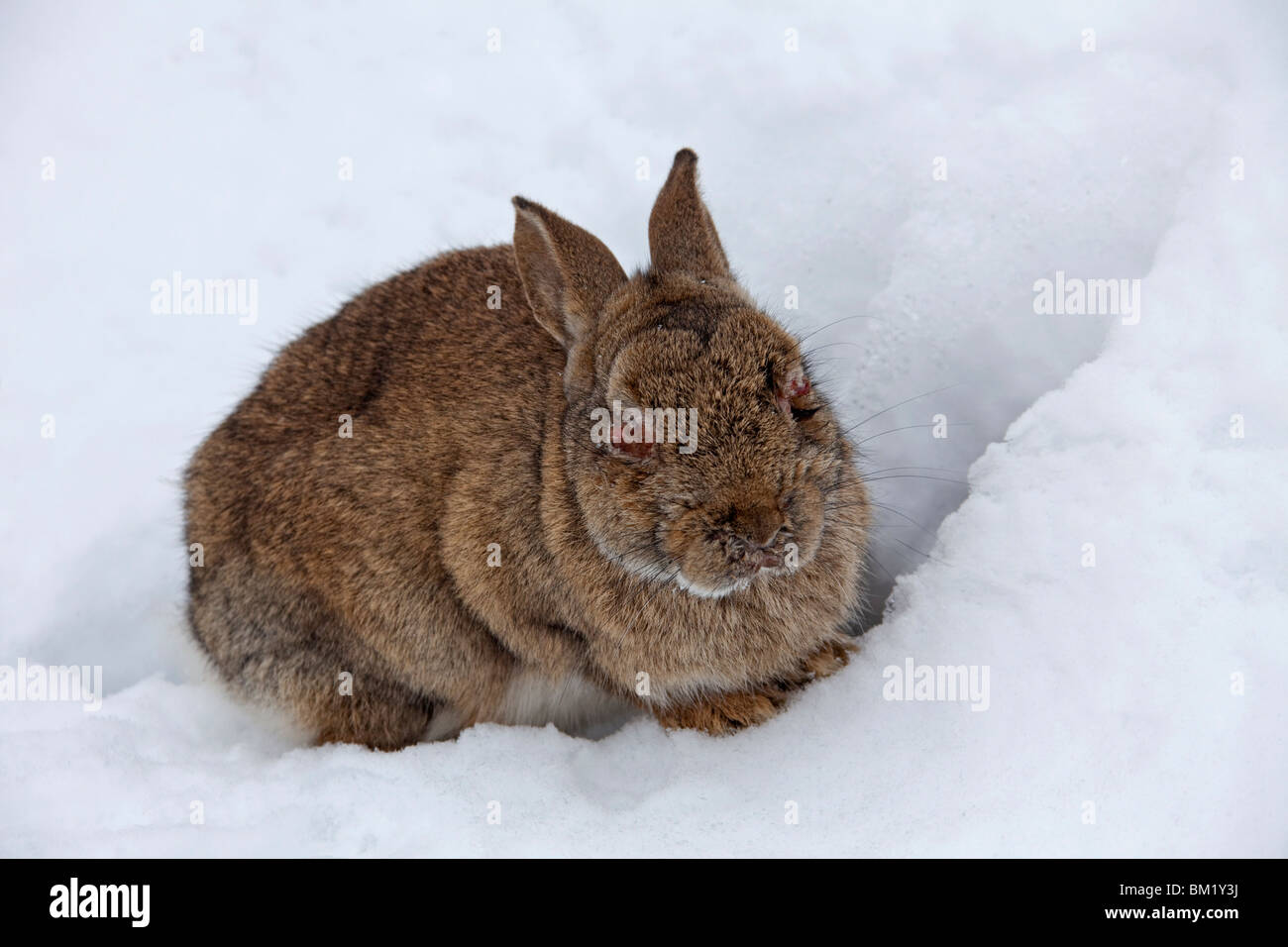 Rabbit (Oryctolagus cuniculus) in the snow in winter, infected with the Myxomatosis disease showing swelling around - Stock Image