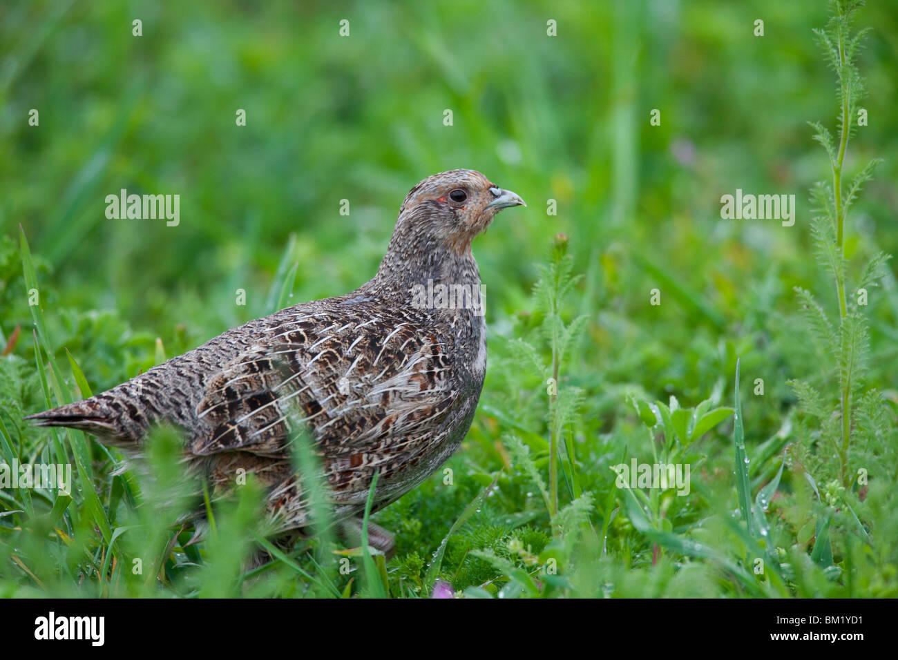 Grey Partridge (Perdix perdix) female in field, Germany - Stock Image