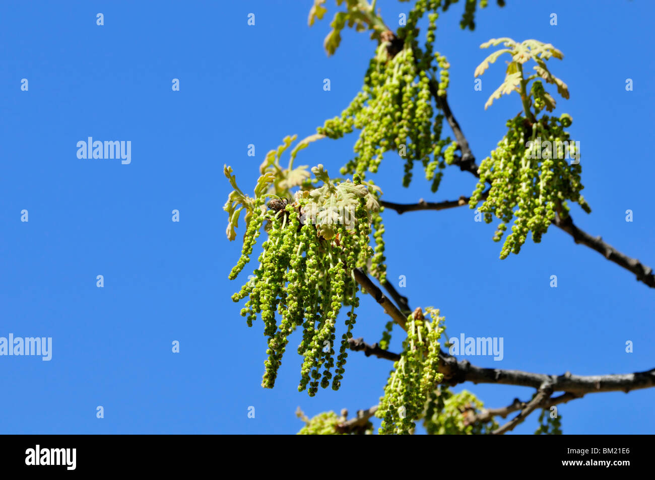 Catkins from a Blackjack Oak, Quercus marilandica, against a bright blue sky in Oklahoma, USA. - Stock Image