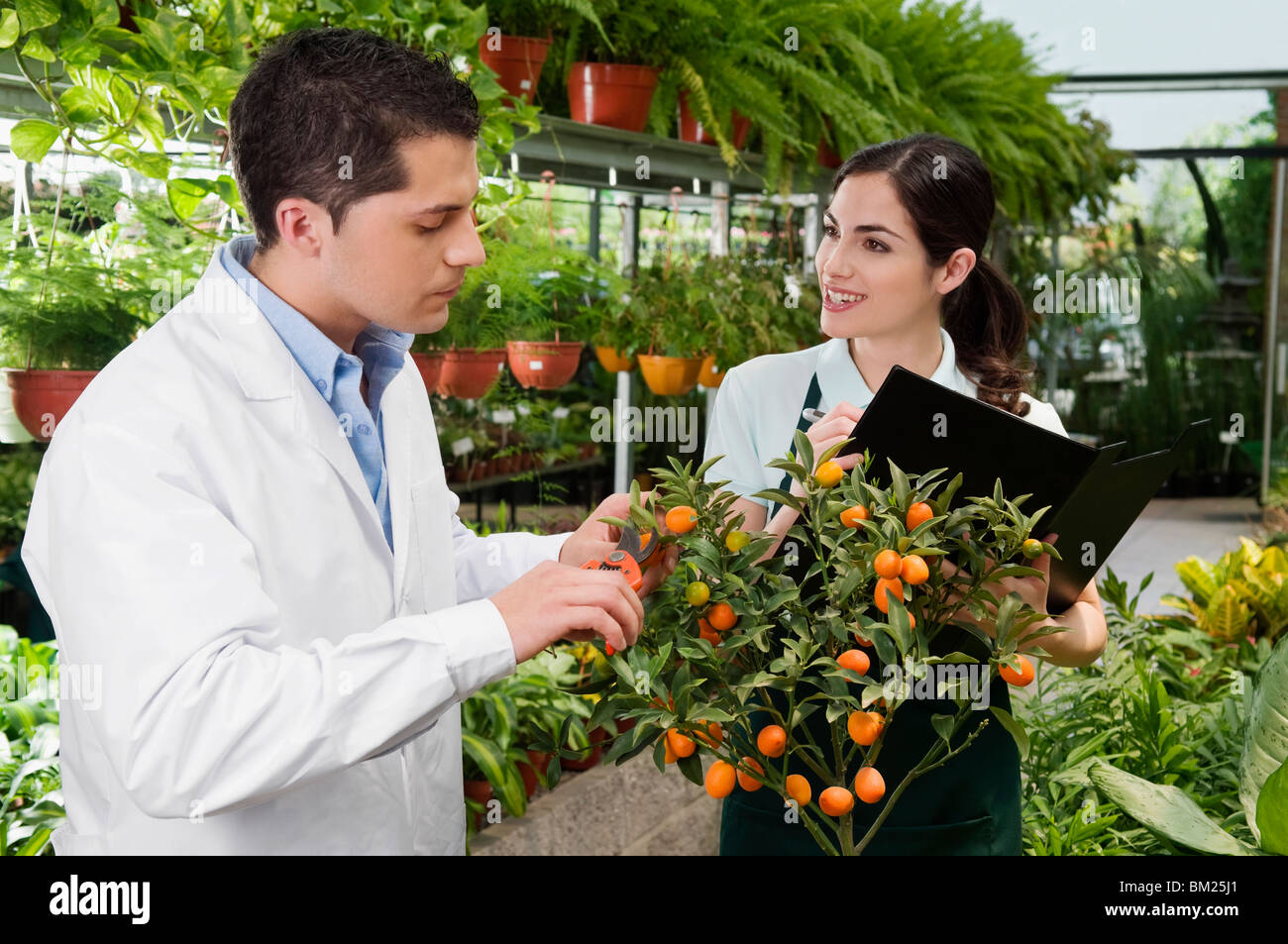 Scientist examining a plant in a greenhouse - Stock Image
