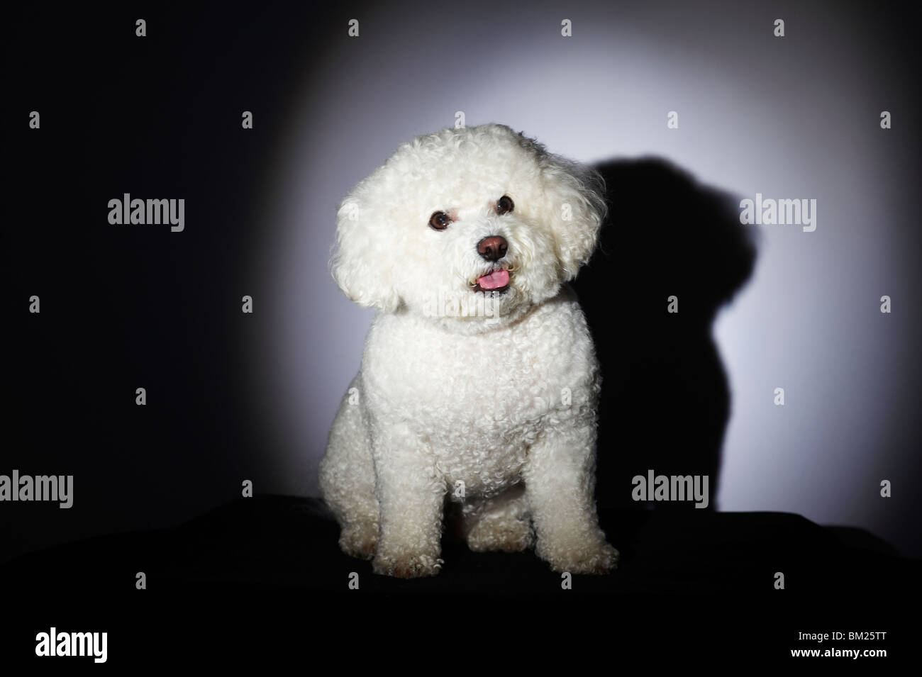 Close-up of a Bichon Frise dog - Stock Image