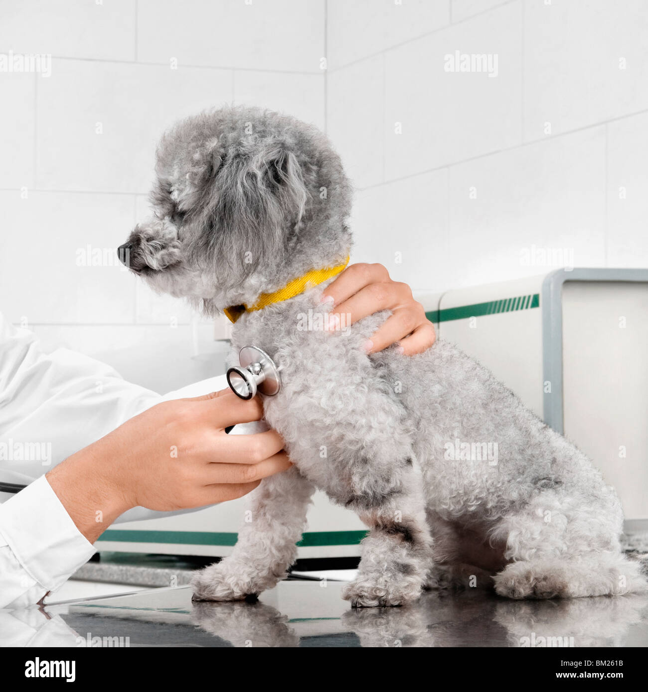 Vet examining a dog with a stethoscope - Stock Image