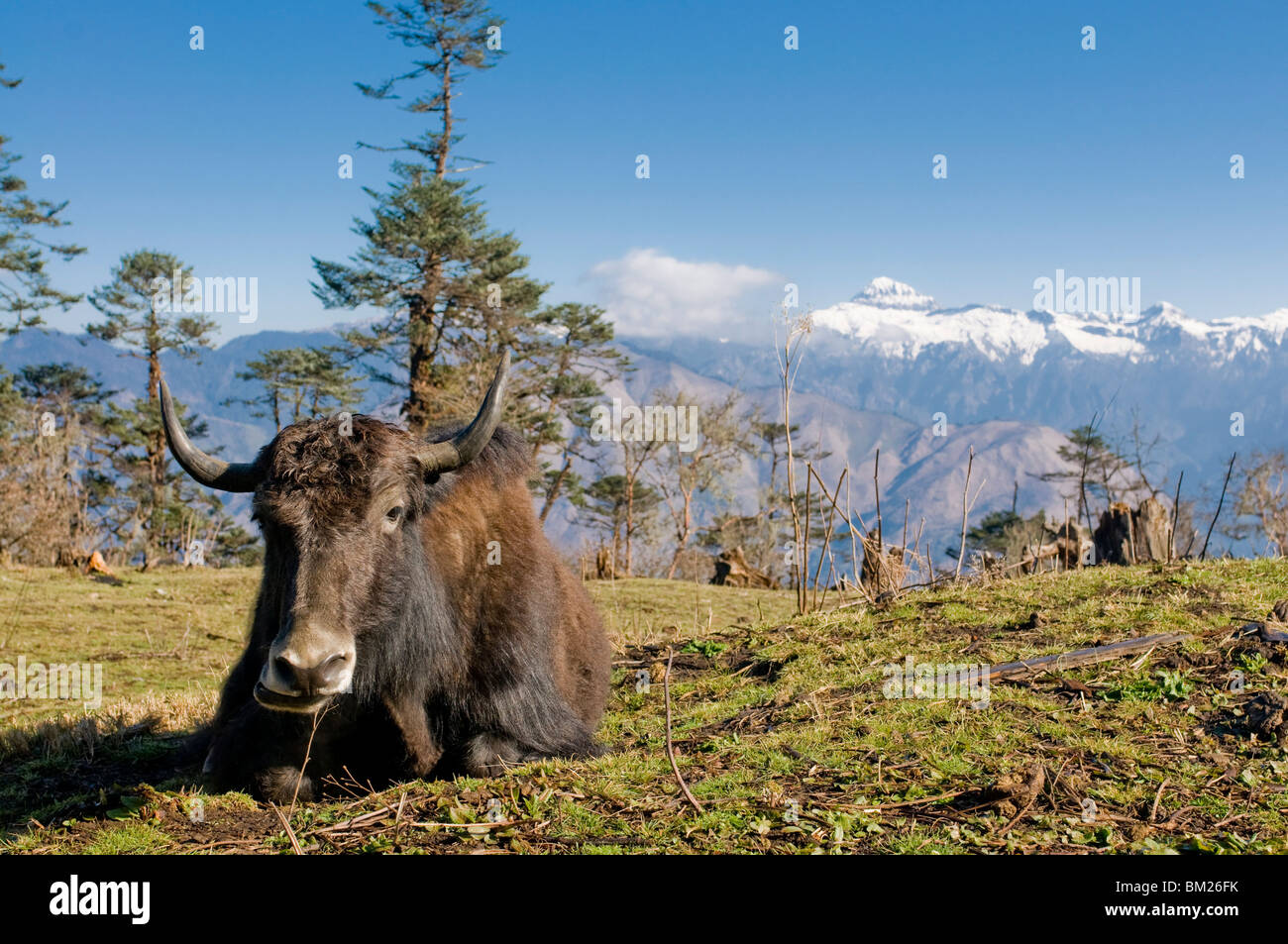 Yak grazing on top of the Pele La mountain pass with the Himalayas in the background, Bhutan - Stock Image