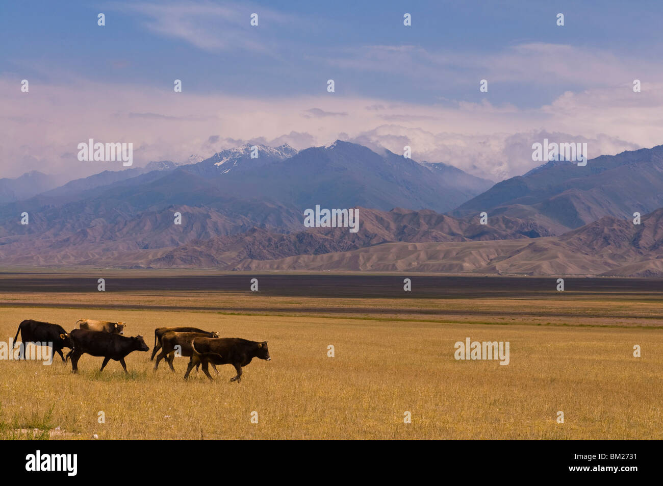 Cattle walking through pastureland, mountains in background Torugart Pass, Kyrgyzstan, Central Asia - Stock Image