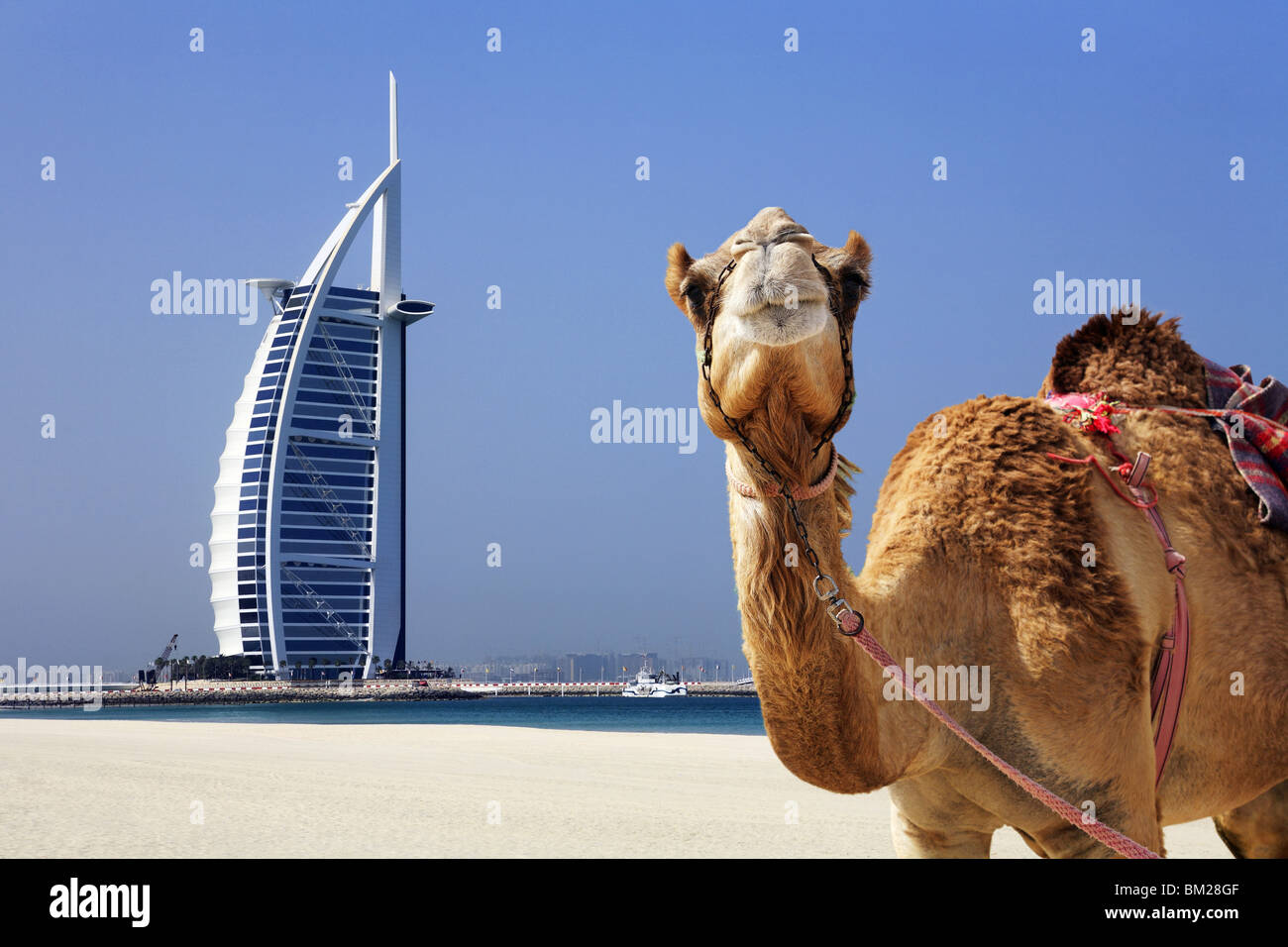 Camel with the burj al arab hotel in background dubai stock photo camel with the burj al arab hotel in background dubai altavistaventures Choice Image